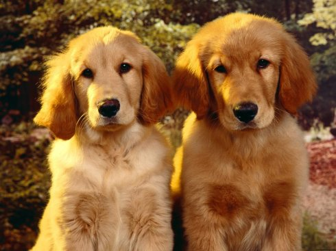 golden_retriever_puppies-1291